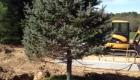 1-transplanting spruce tree (1)