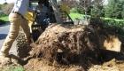 4-transplanting spruce tree (4)