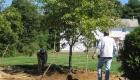 7-transplanting spruce tree (7)